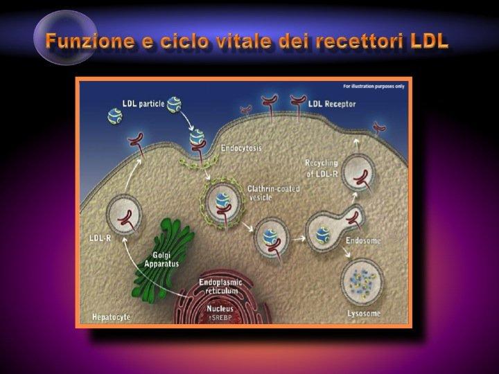 25. Negli ultimi anni si è chiarito il ciclo vitale dei recettori epatici per le LDL. Le lipoproteine circolanti (LDL) si legano al recettore specifico dell'epatocita: il complesso LDL-recettore LDL si internalizza e promuove il catabolismo della molecola di LDL, mentre il recettore-LDL ritorna in superficie per un nuovo ciclo (circa 50-100 volte).